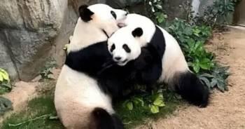 Pandy spółkują po 10 latach