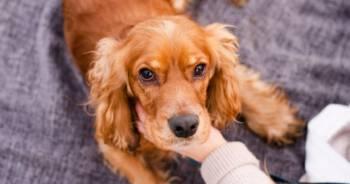 Pies z długimi uszami