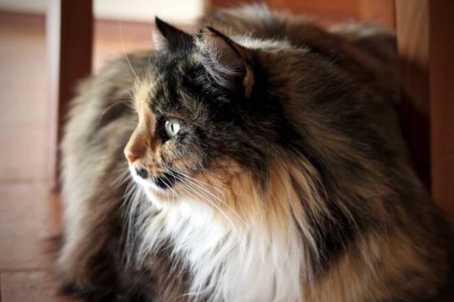 Kot bez sierści