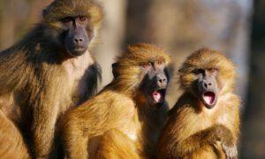 Małpy ukradły z laboratorium próbki krwi pacjentów chorych na koronawirusa