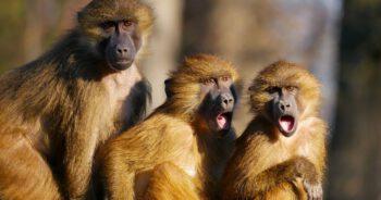 Małpy ukradły próbki krwi