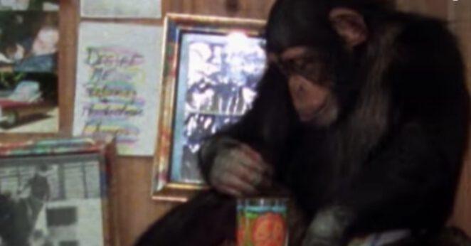 szympans zaatakował kobietę
