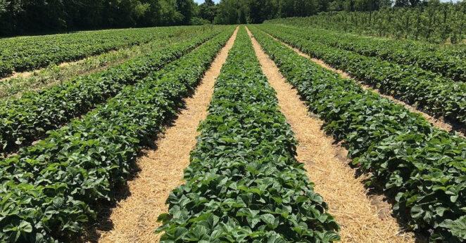 kradzieże truskawek na polach
