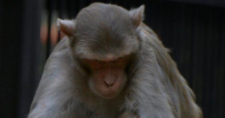 małpa pogryzła 250 osób