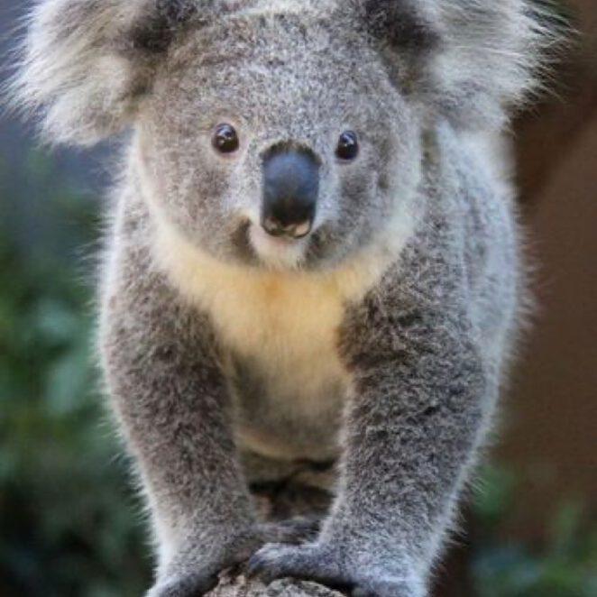 pierwszy koala po pożarach