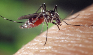 Czy komary przenoszą koronawirusa? Jest komentarz WHO w tej sprawie