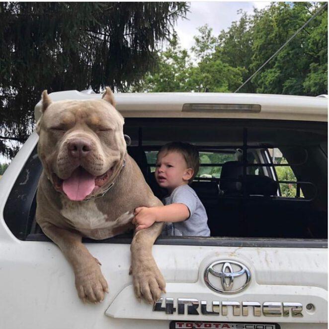 Pitbull zagryzł 4-latka