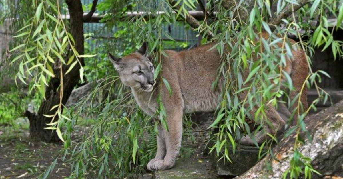Puma Nubia zostaje w Chorzowie
