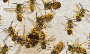 Rój os zabił dziecko. 5-latek został dotkliwie pogryziony przez wściekłe owady