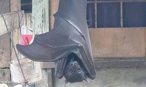 Zdjęcie nietoperza wielkości człowieka. Czy to możliwe by osiągnął taki rozmiar?