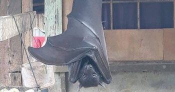 Zdjęcie nietoperza wielkości człowieka
