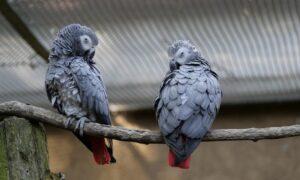 Chamskie papugi obrażają zwiedzających. Musiały zostać rozdzielone!