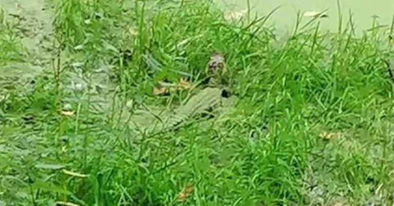 krokodyl znaleziony nad Odrą