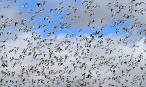 Tysiące zakażonych ptaków leci w kierunku Polski. Minister wydał ostrzeżenie