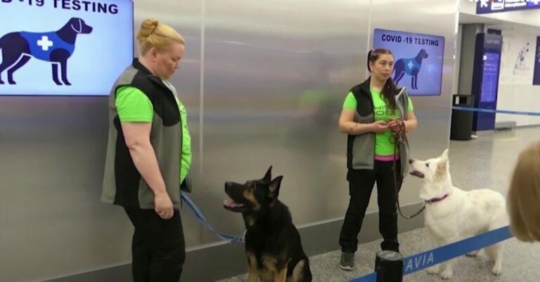 psy wykrywają koronawirusa