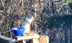 Pijana wiewiórka zachłannie je sfermentowane gruszki. Wciąż jej mało