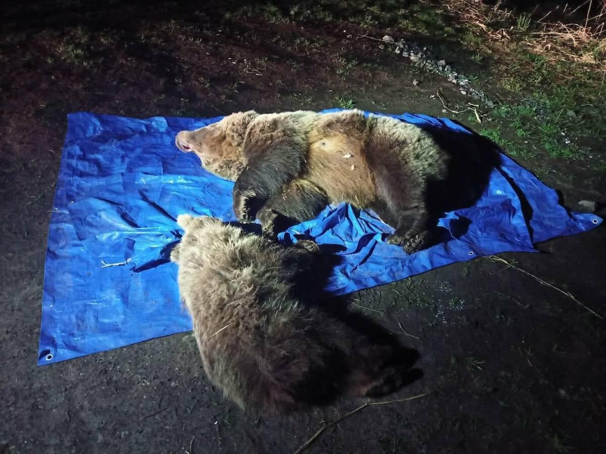 Tragiczna śmierć dwóch niedźwiedzi