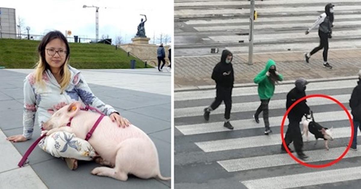 W centrum Warszawy porwano świnkę